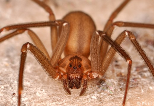 How to Treat a Brown Recluse Spider Bite After TEOTWAWKI